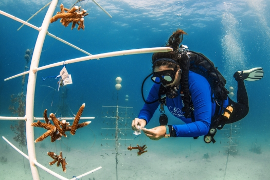 CRF-Restoration-Program-Manager-Jessica-Levy-Works-on-Hanging-New-Corals-on-in-the-CRF-Nursery